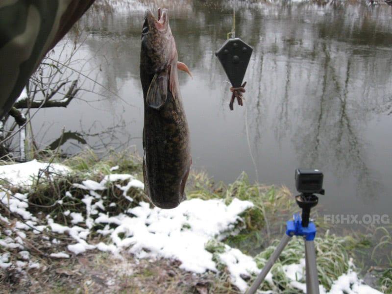 Ловля налима