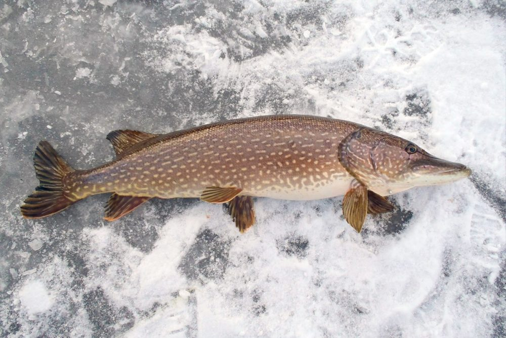 Крупная щука на льду