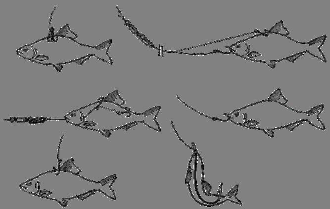 Схема насаживания живца на крючок