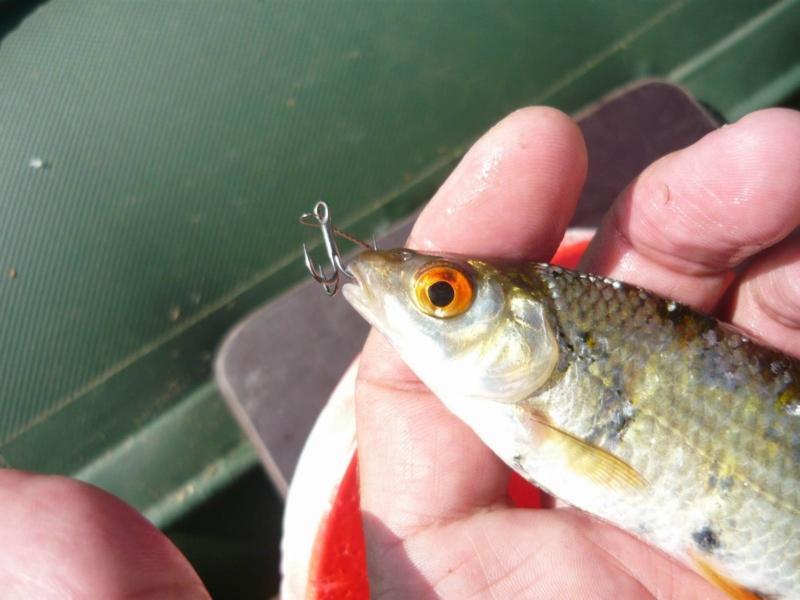 Всё, что нужно знать рыболову о том, как правильно насаживать живца на жерлицу