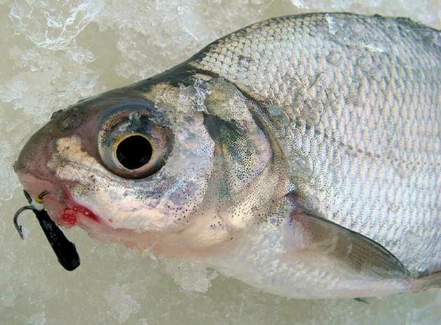 Как поймать рыбу на чертика