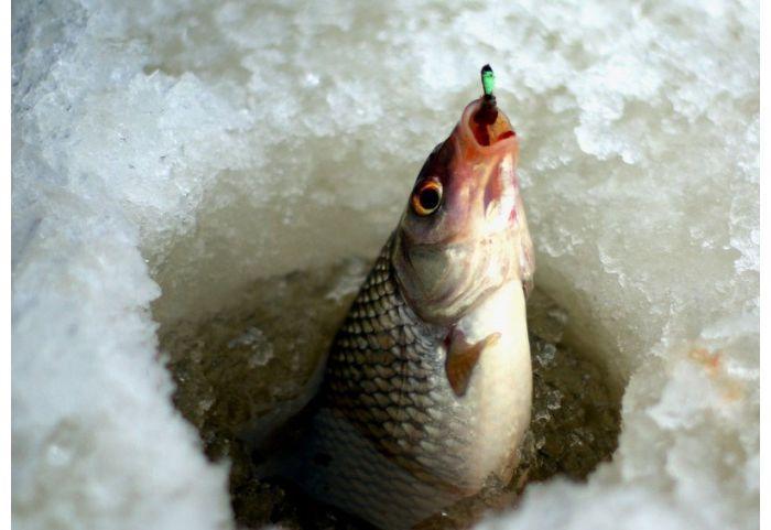 рыба пойманная на мормышку