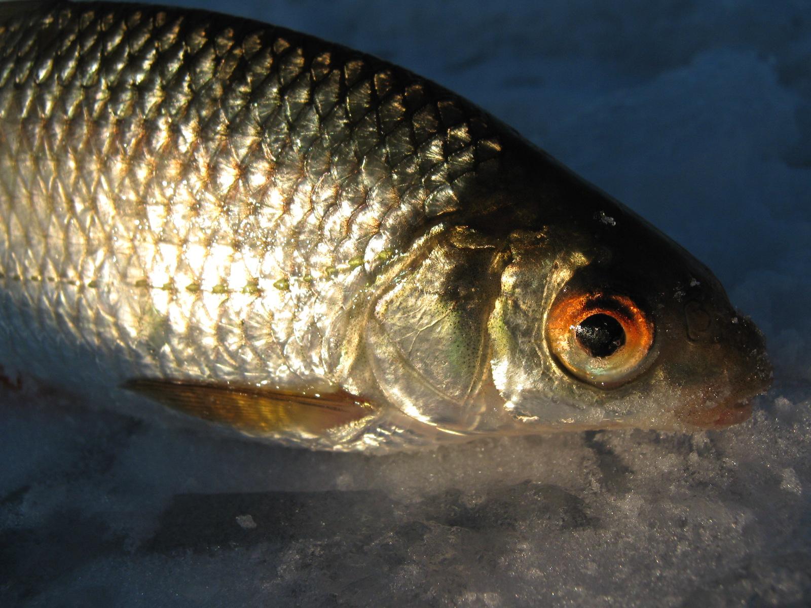 Плотва – всесезонный рыболовный трофей.
