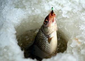 Рыбу поймали на крючок