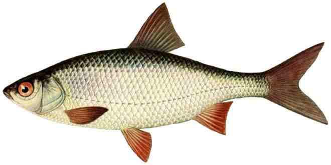 Рыба «Плотва»